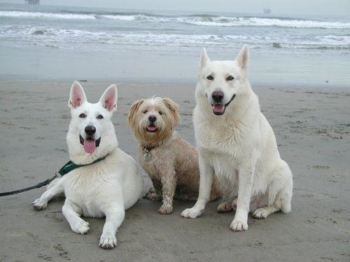 030813 dogs - beach 020-1